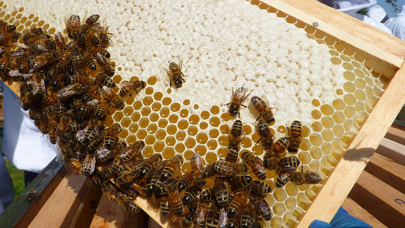 Capped honey along with uncapped honey