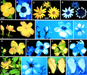 Flowers with ultraviolet coloring by National Academy of Sciences